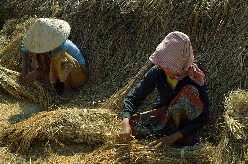 Cambodian Rice Farming