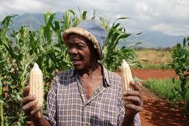 A Tanzanian farmer discusses his maize crops.