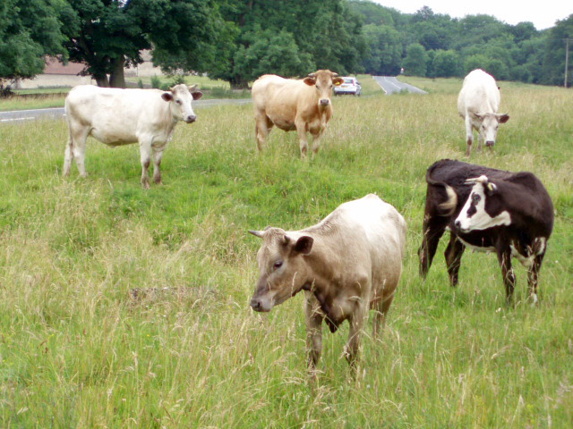 Cows on Selsley Common, Gloucestershire, England