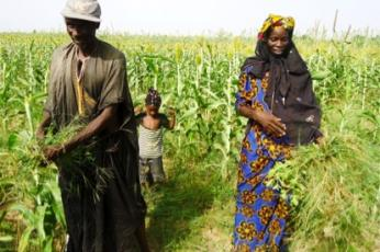 A Senegalese farm couple and their daughter harvest millet.