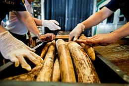 Illegal ivory shipment from Mozambqiue seized in Thailand July 2013 © WWF-Canon / James Morgan